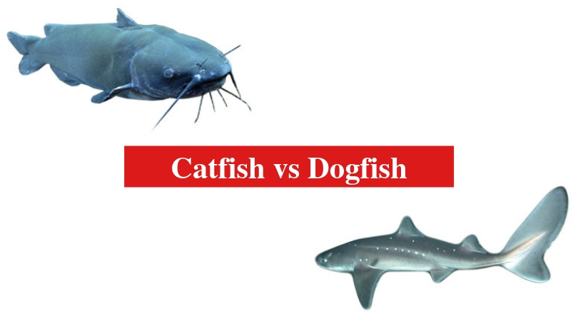 Catfish vs Dogfish: The Differences Between Catfish and ...