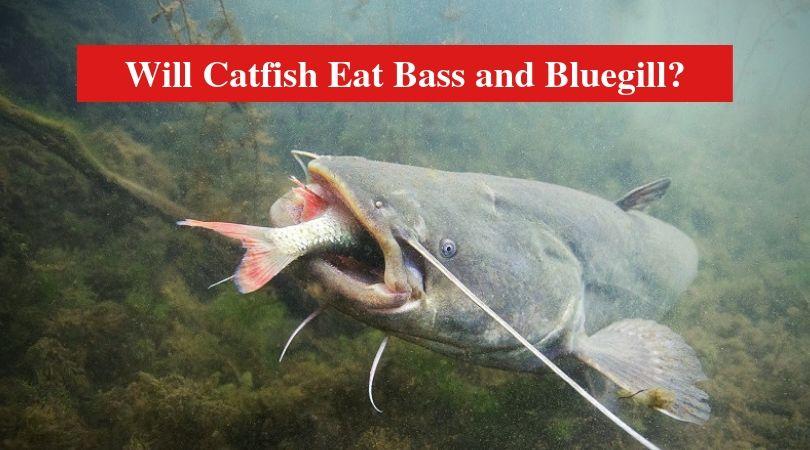 Will Catfish Eat Bass And Bluegill Hookedoncatfish