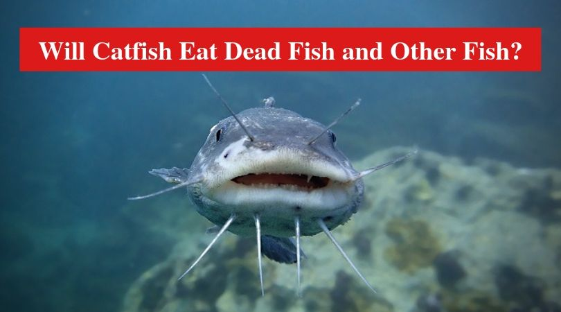 Will Catfish Eat Dead Fish And Other Fish Hookedoncatfish