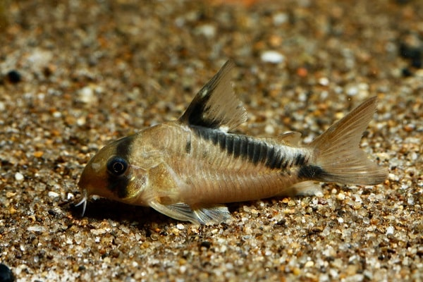 Cory Catfish Here Are 8 Cory Catfish Types Hookedoncatfish